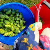 Freshly Picked Hops